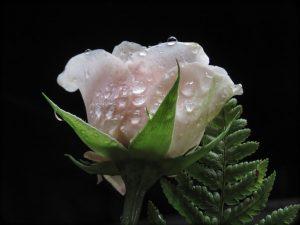 rose-pink-colors-3202080_640